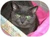 Russian Blue Cat for adoption in Ocean City, New Jersey - Liz