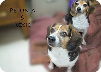 Beagle Mix Dog for Sale in Hamilton, Montana - Petunia and Rosie