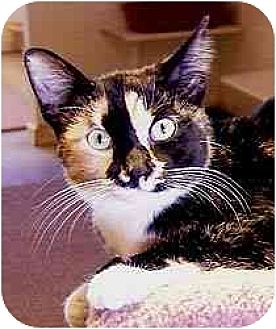 Domestic Shorthair Cat for adoption in Clovis, New Mexico - Spice