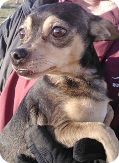 Chihuahua Mix Dog for adption in Germantown, Maryland - Beasley