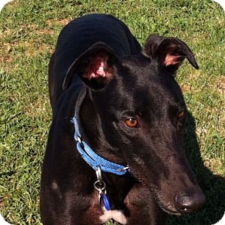 Greyhound Dog for Sale in Bethalto, Illinois - Bella Zander