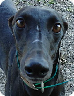 Greyhound Dog for Sale in Longwood, Florida - Stuck Like Glue
