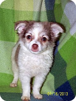 Pomeranian/Chihuahua Mix Puppy for Sale in Sussex, New Jersey - Buffy