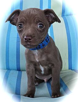 Terrier (Unknown Type, Small)/Chihuahua Mix Puppy for Sale in Studio City, California - Sammy Davis Jr.