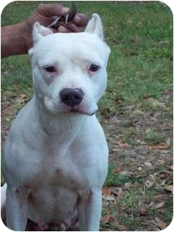 American Pit Bull Terrier Dog for Sale in Orlando, Florida - Dutchess