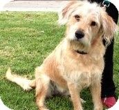 Wheaten Terrier/Golden Retriever Mix Dog for Sale in Thousand Oaks, California - Nala
