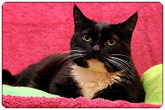 Domestic Shorthair Cat for adoption in Sterling Heights, Michigan - Sedona
