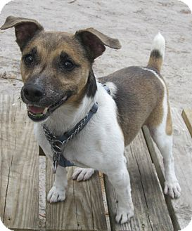 Jack Russell Terrier Mix Dog for Sale in Forked River, New Jersey - Danny