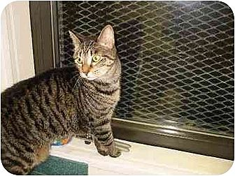 Domestic Shorthair Cat for adoption in New York, New York - Suggy