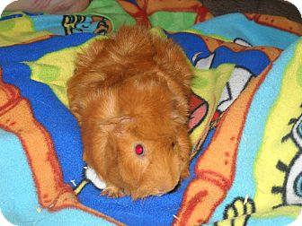 Guinea Pig for adoption in johnson creek, Wisconsin - dale