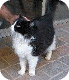 RagaMuffin Cat for Sale in Mesa, Arizona - Grace