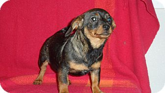 Dachshund/Rat Terrier Mix Puppy for Sale in Seattle, Washington - Frappe