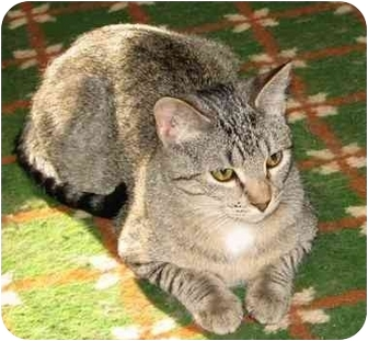 Domestic Shorthair Cat for adoption in Fairbury, Nebraska - Philou