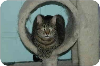 Domestic Shorthair Cat for adoption in Oyster Bay, New York - Bob