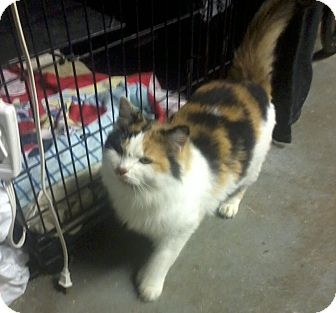 Calico Cat for Sale in Salem, New Hampshire - Candy