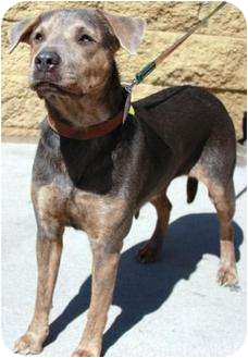 Hound (Unknown Type)/Shar Pei Mix Dog for Sale in Gilbert, Arizona - Sweetness