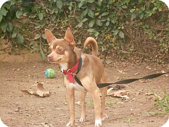 Chihuahua Mix Dog for Sale in Chula Vista, California - Freddy