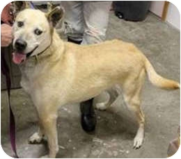 Husky/Labrador Retriever Mix Dog for adption in Mt. Prospect, Illinois - Gypsy