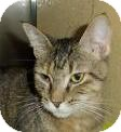 Abyssinian Cat for adoption in Kansas City, Missouri - Belle
