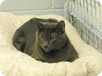Domestic Shorthair Cat for adoption in Mission, British Columbia - Grey Boy