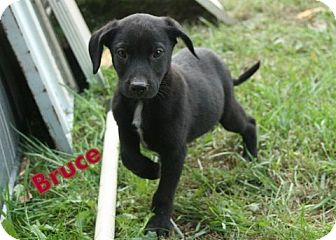 Labrador Retriever Mix Puppy for Sale in Danbury, Connecticut - Cason aka Bruce