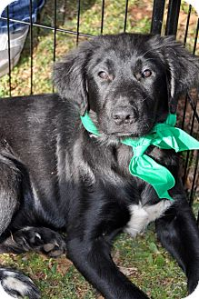 Labrador Retriever Mix Puppy for Sale in Huntsville, Alabama - Jasper