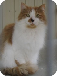 Domestic Longhair Cat for adoption in Brainardsville, New York - JESSE
