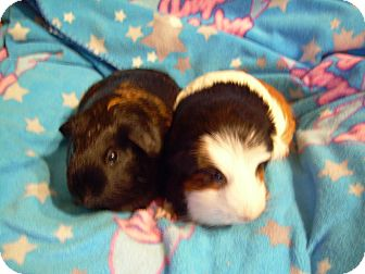 Guinea Pig for Sale in johnson creek, Wisconsin - kate and allie