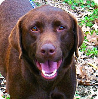 Labrador Retriever Dog for Sale in Groton, Massachusetts - Winston