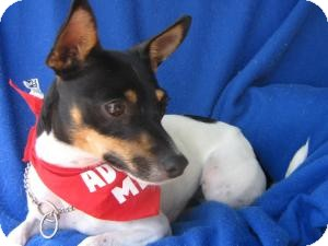 Rat Terrier Dog for Sale in Irvine, California - Augusta
