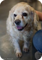 Cocker Spaniel Dog for Sale in Loudonville, New York - Barbara Walters