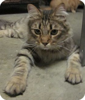 Maine Coon Cat for Sale in Winchester, California - Bonito