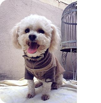 Poodle (Miniature) Mix Dog for adption in San Diego, California - Shrek