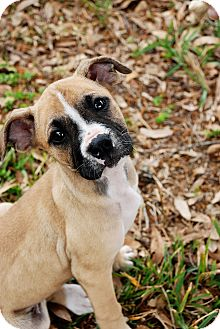 Boxer Mix Puppy for Sale in Orlando, Florida - Betty