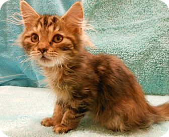 Maine Coon Kitten for Sale in Sterling, Virginia - Dawn