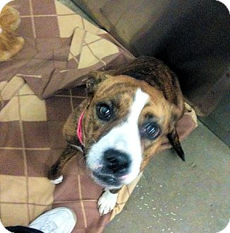 Boxer Mix Dog for Sale in Euless, Texas - Precious Precious