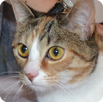 Domestic Shorthair Cat for adoption in Bedford, Virginia - Mena
