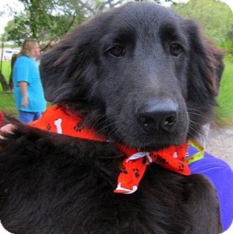 Flat-Coated Retriever Mix Dog for adption in Driftwood, Texas - Prince