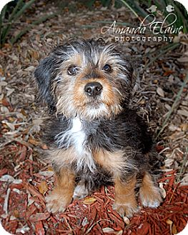 Yorkie, Yorkshire Terrier/Dachshund Mix Puppy for Sale in Granbury, Texas - Bentley