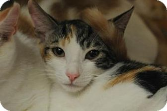 Domestic Shorthair Kitten for adoption in New York, New York - Honeydew
