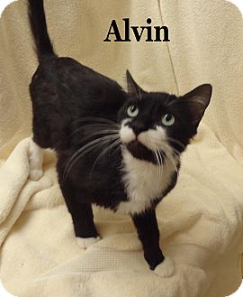 Domestic Shorthair Cat for Sale in Bentonville, Arkansas - Alvin