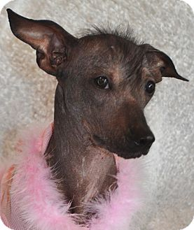 Xoloitzcuintle/Mexican Hairless Mix Puppy for Sale in Bridgeton, Missouri - Brooklyn