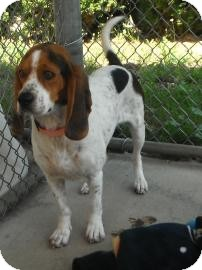 Beagle Mix Dog for Sale in Jackson, Michigan - Copper