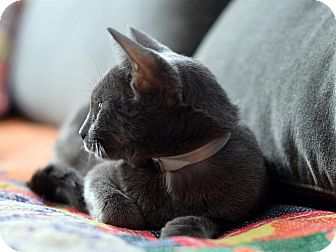 Russian Blue Cat for Sale in Brooklyn, New York - Smokey