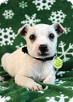 Terrier (Unknown Type, Small)/Chihuahua Mix Puppy for Sale in Westminster, Colorado - Sloth