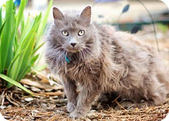 Domestic Longhair Cat for adoption in San Antonio, Texas - Silver