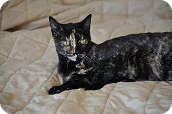 Domestic Shorthair Cat for adoption in Modesto, California - Pheobe