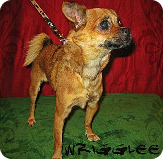 Chihuahua/Pug Mix Dog for Sale in Prole, Iowa - Wrigglee
