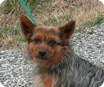 Yorkie, Yorkshire Terrier/Pomeranian Mix Dog for Sale in Hagerstown, Maryland - Reagan (reduced $350)