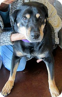 Rottweiler/Shar Pei Mix Dog for adption in Chandler, Arizona - Rosie
